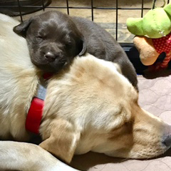 AKC and UKC Registered Labradors
